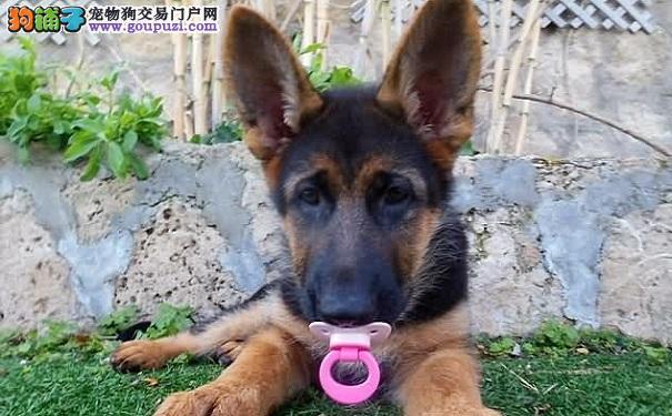 科学训练德牧幼犬 让黑背更有教养