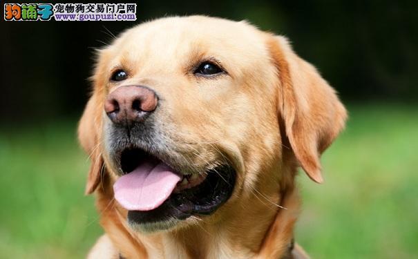 拉布拉多高龄犬表现症状 让拉拉更长寿