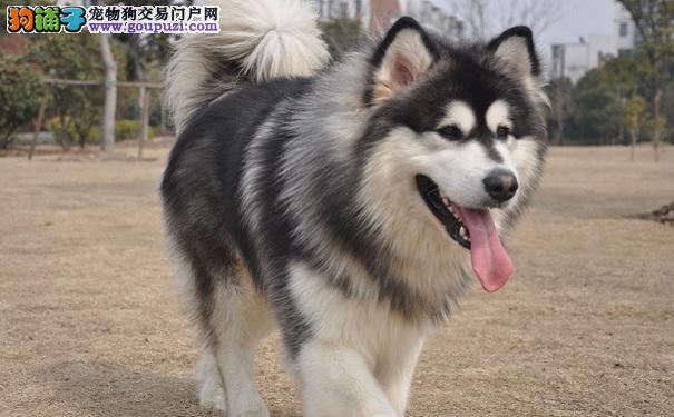 阿拉斯加雪橇犬的美容方法