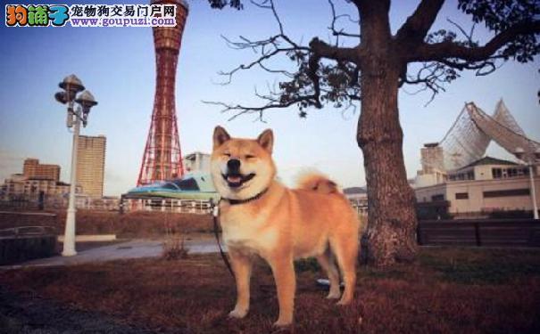 训练柴犬的方法 训练日本柴犬