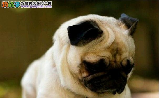 巴哥犬耳朵痒 警惕巴哥长了耳螨