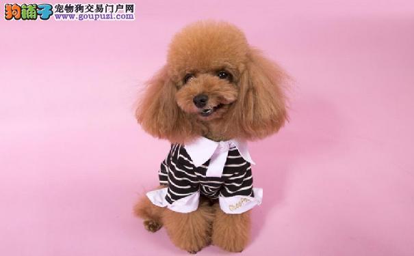 泰迪犬缺钙的症状 给泰迪犬补钙须知