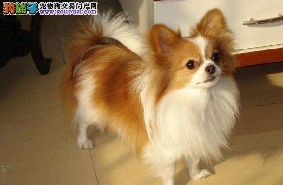 赛级蝴蝶犬的美容护理方法 蝴蝶犬的美容方法