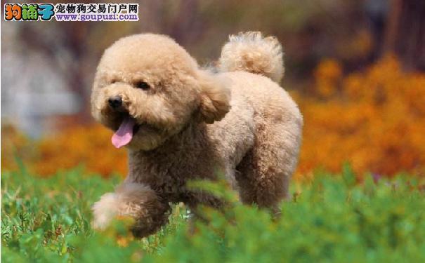 泰迪犬胀气的原因 如何改善泰迪犬胀气的情况