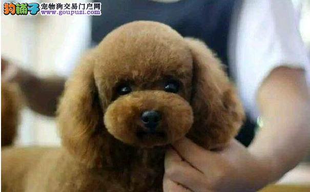 转让极品韩国血系苏州泰迪犬 可办理血统证书已做疫苗