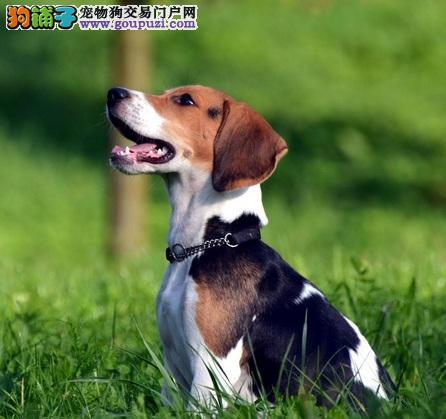深圳繁育纯种极品纯种比格幼犬特价出售纯种健康史努比