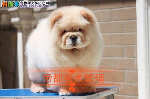 帝都犬舍出售赛级松狮宝宝白色黄色都有可上门选购