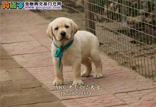 黑龙出售拉布拉多高品相神犬犬全国发货