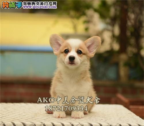 陕西柯基低价出售帅气三个月犬全国发货