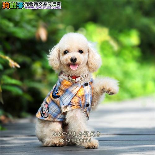 陕西家养泰迪赛级小犬带证书全国发货4