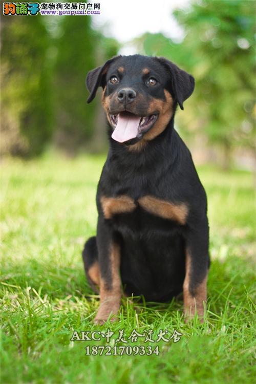 重庆最大犬舍罗威纳聪明公母均有全国发货