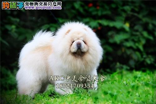 山西松狮出售健康胖胖奶狗全国发货