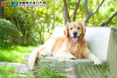 贵州犬舍金毛纯种猎犬保健康全国发货