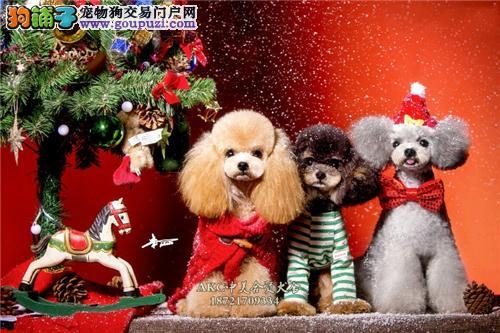 上海犬舍泰迪出售下单有礼送用品全国发货