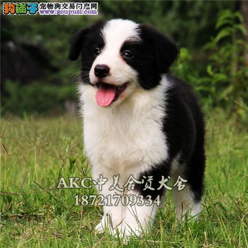 上海犬舍边牧乖巧七白多色可选全国发货
