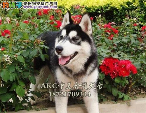 上海哪里有哈士奇极品三火幼犬全国发货