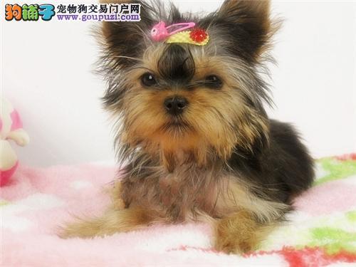 四川家养约克夏出售迷你犬带证书全国发货