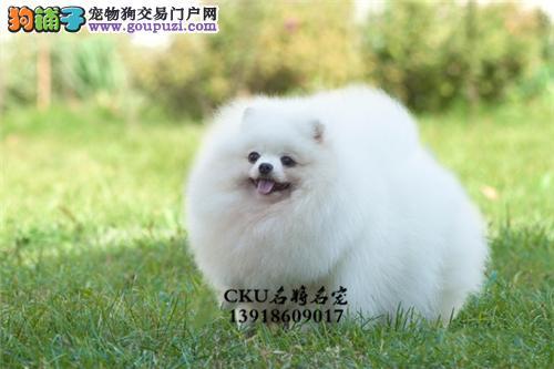 安徽犬舍博美出售小包纯种全国发货