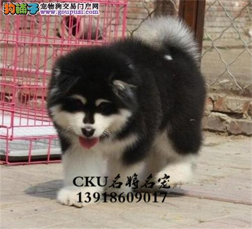 安徽犬舍阿拉斯加聪明熊版幼犬全国发货