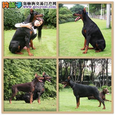 广东专业繁殖杜宾骨量足纯种灵性全国发货2