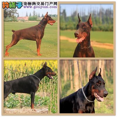 广东专业繁殖杜宾骨量足纯种灵性全国发货3