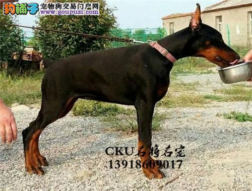 广东专业繁殖杜宾骨量足纯种灵性全国发货4