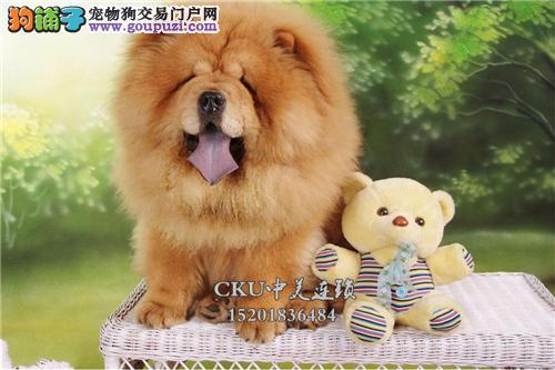 广东松狮专业繁殖专业繁殖紫舌全国发货