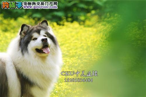 浙江阿拉斯加小狗狗包纯种双血统全国发货