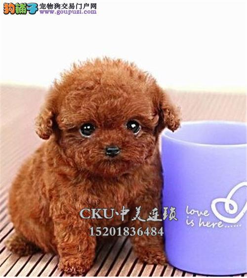 浙江犬舍泰迪可爱帅气玩具犬全国发货
