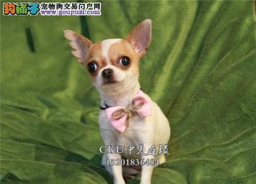 四川出售吉娃娃可爱茶杯包纯种全国发货
