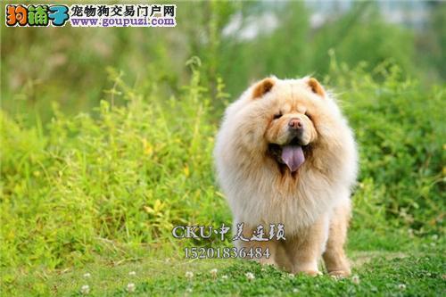 云南松狮健康自家养金黄小奶狗全国发货