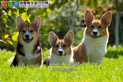 福建柯基肥臀犬保健康全国包运全国发货