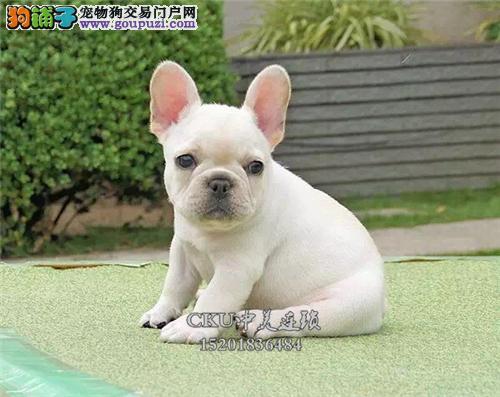 广东便宜出售法牛聪明好养保健康全国发货