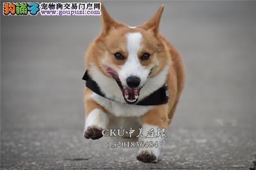 新疆柯基低价出售帅气三个月犬全国发货