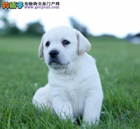 高品质拉布拉多拉拉犬幼犬导盲犬疫苗驱虫已做