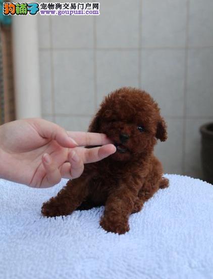 精品茶杯犬 签订售犬协议 疫苗齐全 纯种包终生