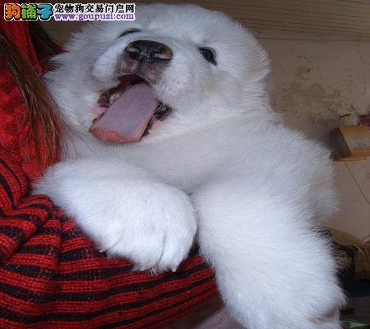 狗场直销纯种大白熊 毛色好骨量足 七窝挑选实物