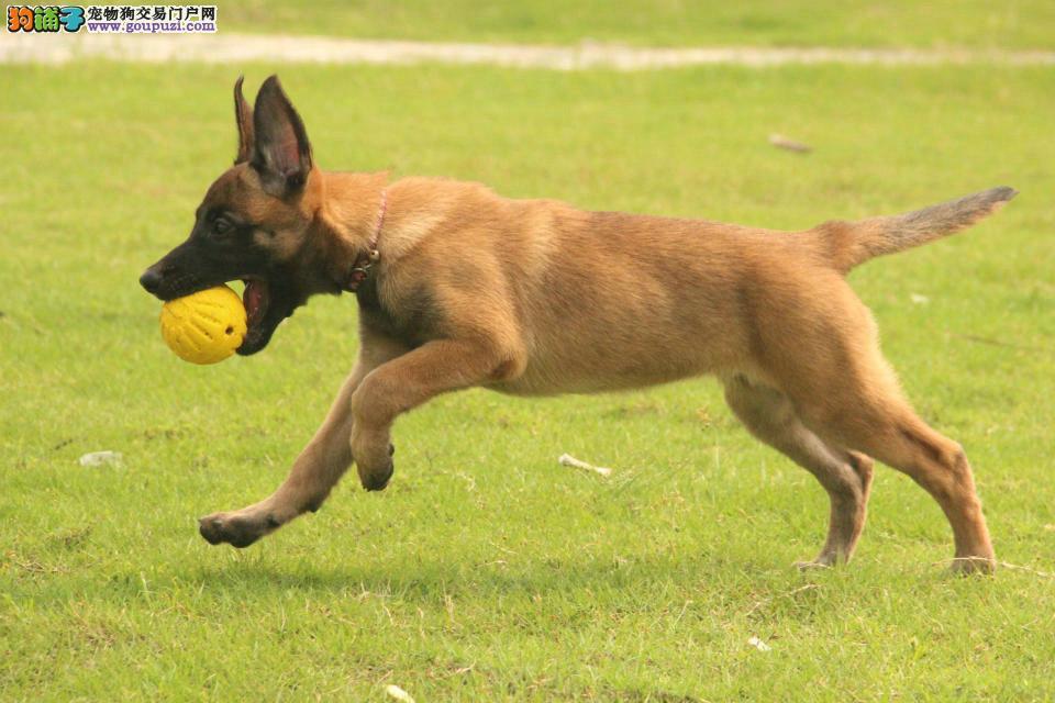 合肥市马犬出售 双血统马犬 有证书可刷卡 指导驯养