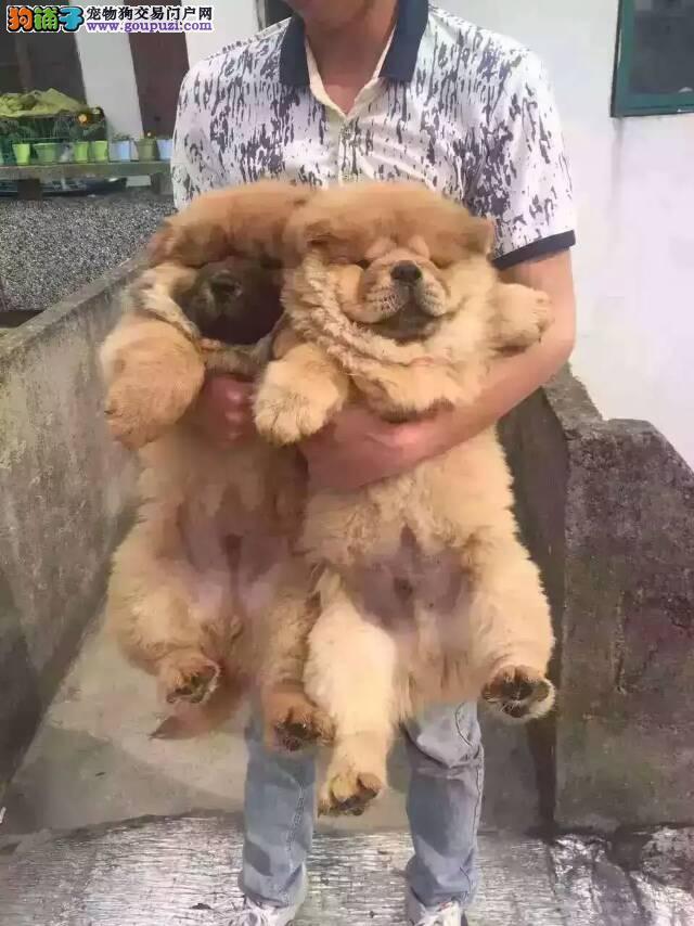 繁殖基地出售松狮幼犬,包纯种健康签订协议