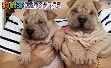 犬舍直销沙皮犬,包纯种健康签订购犬协议