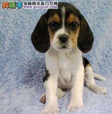 泸州有大耳朵比格犬幼犬出售机警聪慧比格幼犬品质极好