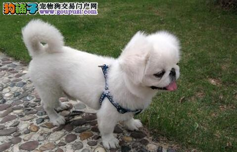 霸气外露鹰版京巴狗出售 三种颜色 公母齐全 质保三年