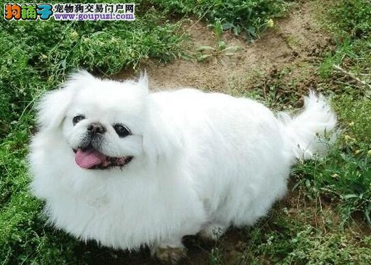 京巴狗多少钱一只