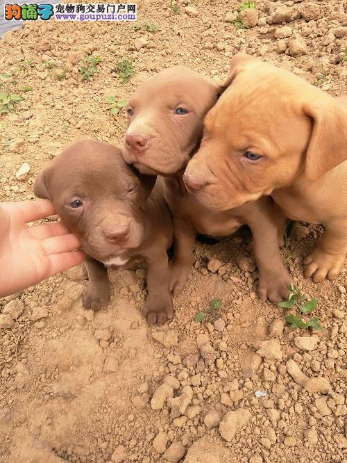 家养多只比特犬宝宝出售中同城免费送货上门2