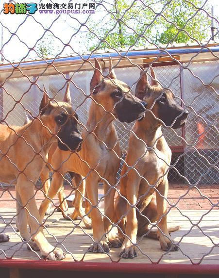 自家狗场繁殖直销大丹犬幼犬赠送全套宠物用品1