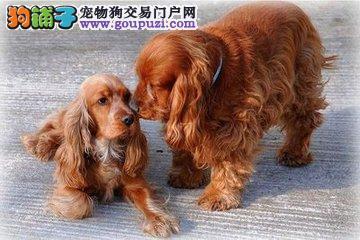 广州可卡犬转让血统纯正保健康纯种欢迎来看可视频挑选