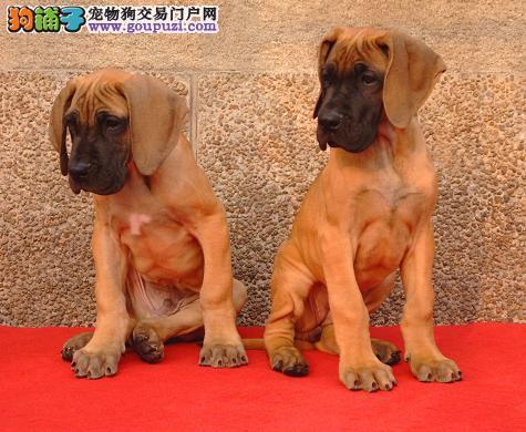 长春专业的大丹犬犬舍终身保健康上门可见父母
