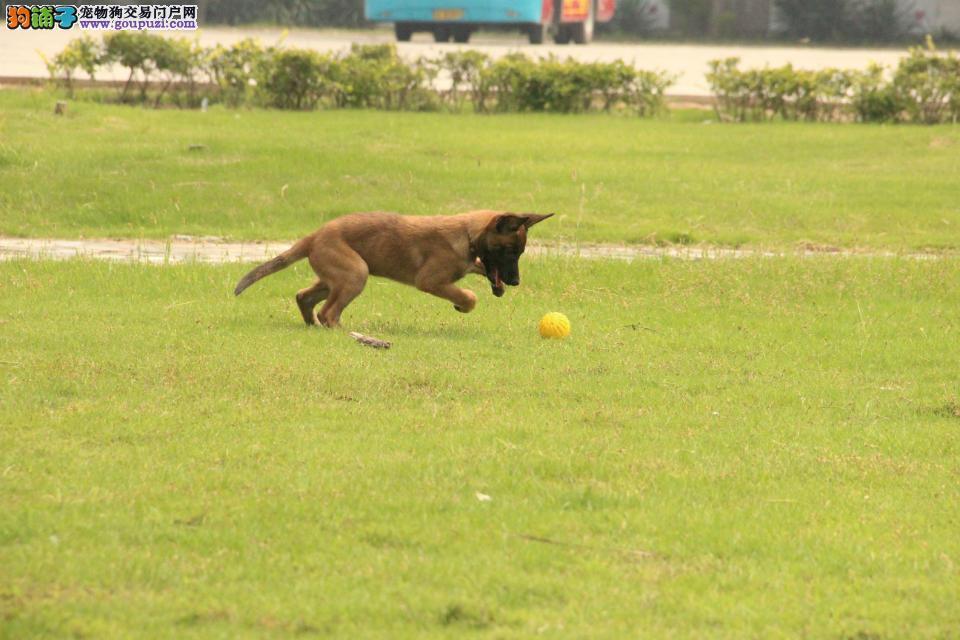 比利时马犬出售 可视频看狗 三个月包退换 包半年健康