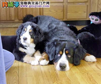 桂林市出售三色伯恩山犬幼犬 多窝待选防疫全