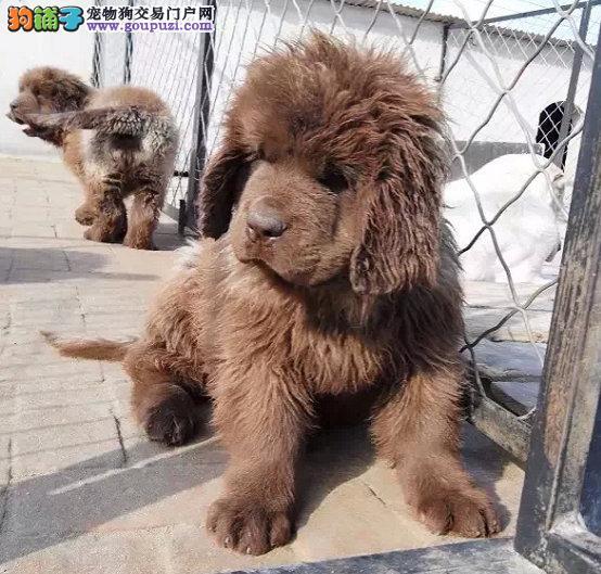 出售高端纽芬兰犬、金牌店铺假一赔十、三年联保协议